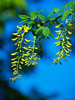 Blue, Yellow, Blue Sky, Labernum, Yellow Flowers