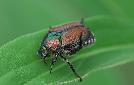 Japanese Beetle, Beetles, Insect, Elytra