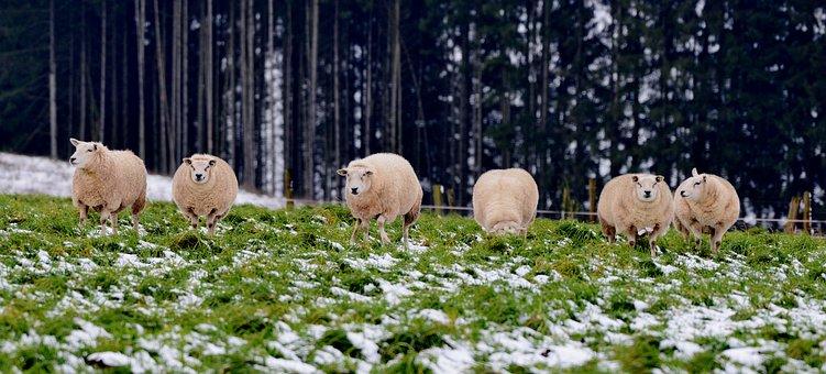 Sheep, Mammals, Wool, Cattle, Nature, Animals