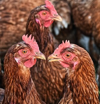 Chickens, Meeting, Poultry, Free Running, Happy Hens