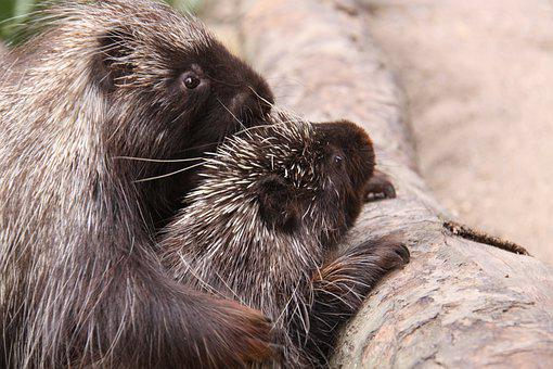 Porcupines, Urson, Climber, Pair, Animal