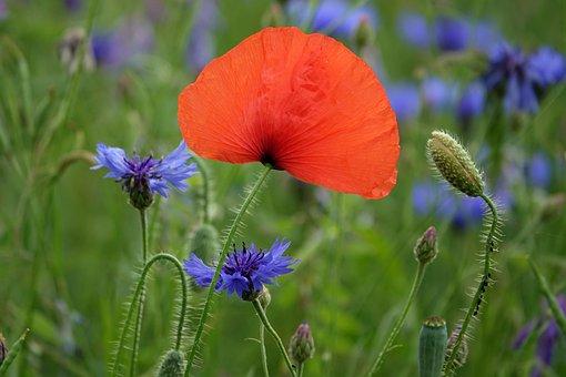 Klatschmohn, Poppy, Cornflower, Chicory, Flower Meadows