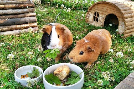 Guinea Pig, Rodents, Pets, Paula, Coxi