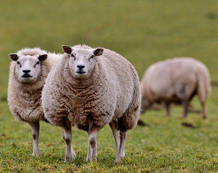 Sheep, Mammal, Wool, Animals, Meadow, Nature, Curious
