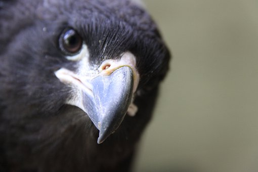Caracara, Falkland Caracara, Bird, New World Vultures