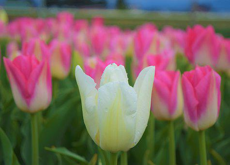 White Tulip, Pink Flowers, Fields, Nature, Beauty