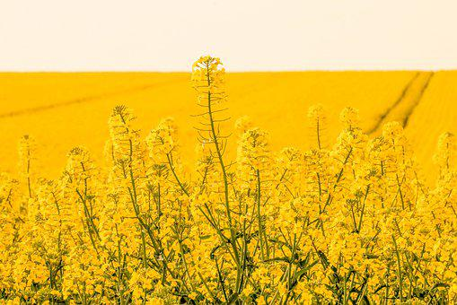 Rapeseed, Agriculture, Fields, Yellow, Landscape