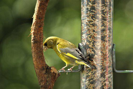Finch, Bird, Nature, Songbird, Plumage, Garden, Small