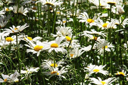 Margin, Margin Renon, Flower Meadow, Garden, Meadow