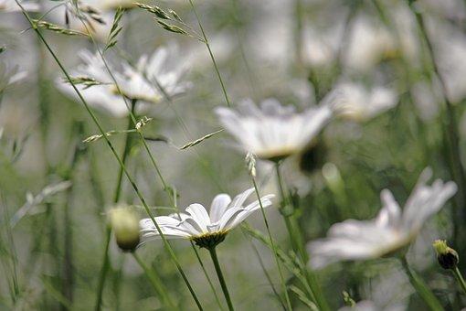Margin Renon, Flower Meadow, Garden, Meadow, Flowers