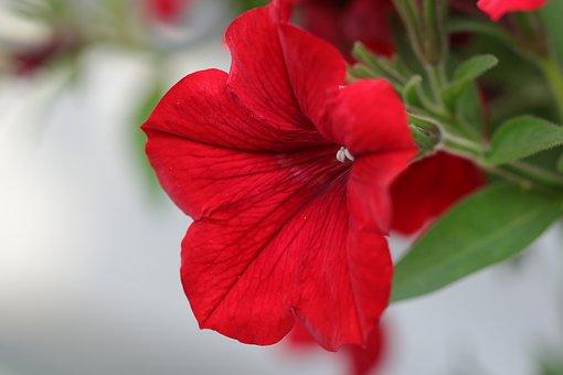 Petunia, Flower, Flowers, Nature, Flora, Red, Summer