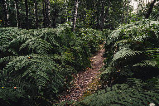 Forest, Fern, Ferns, Plants, Green, Flora, The Path