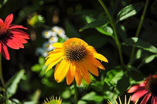 Coneflower, Yellow, Garden, Nature, Garden Plant