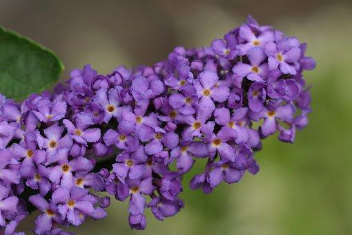 Vlinderbloem, Bush, Lilac, Purple, Garden, Nature