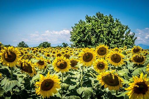 Tree, Sunflower, Summer, Nature, Trees, Green
