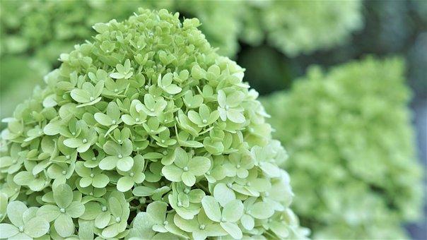Background, Pattern, Hydrangea Flowers, Flowers, Summer