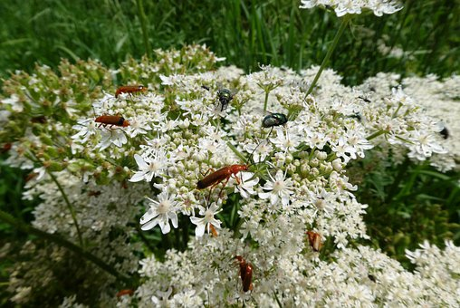 Flutes Herb, Red Weekschildkever, Insects