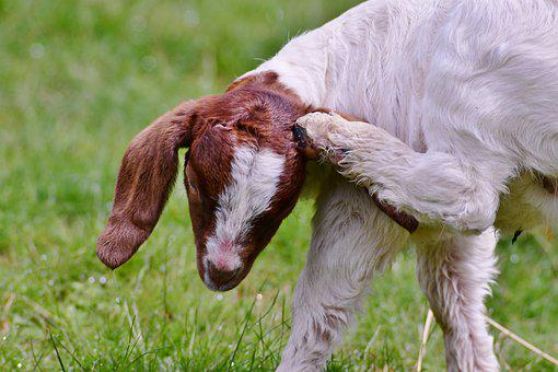 Kid, Goat, Itching, Horns, Young, Outdoor Life, Mammal