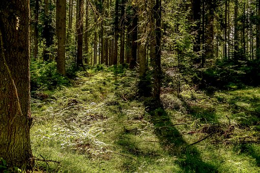 Forest, Fir Forest, Trees, Coniferous Forest, Landscape