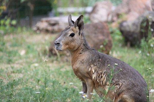 Large Mara, Pampashase, Mara Mammal, Species Of Rodent