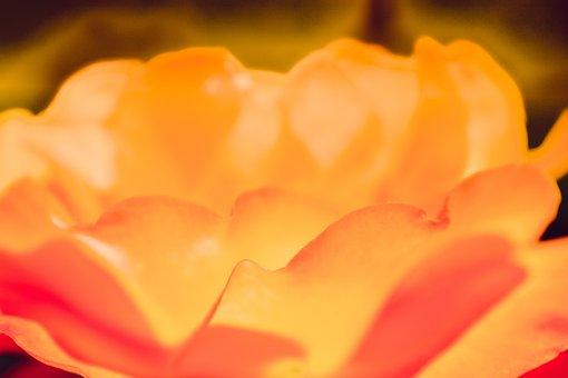 Rose, Magma, Fire, Heat, Yellow