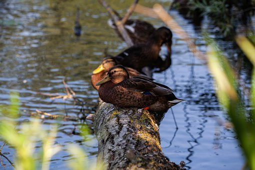Ducks On A Log, Sleeping Ducks, Ducks, Mallard, Duck