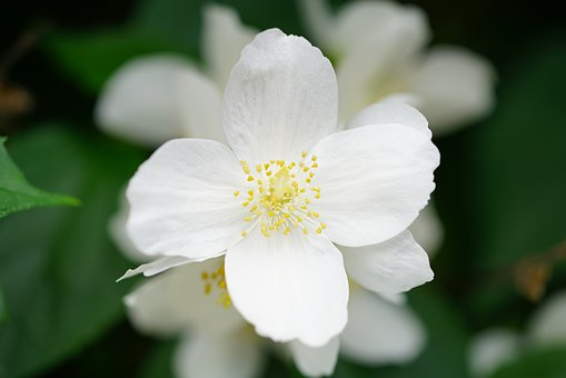 Mock Orange, Jasmin, Blossom, Bloom, White