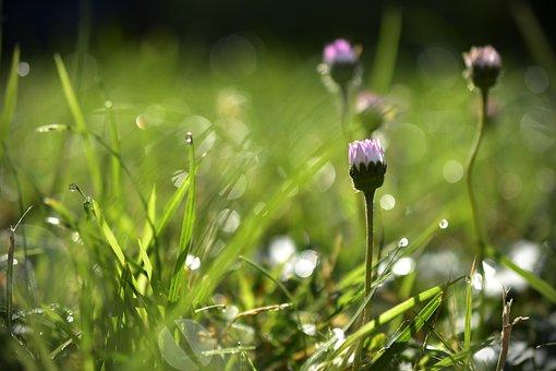 Meadow, Grass, Dew, Morgentau, Drop Of Water, Dewdrop