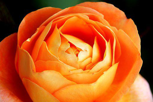 Rose, Orange, Blossom, Bloom, Nature, Flower, Plant