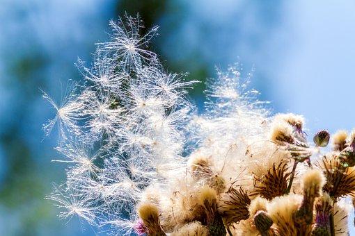 Arable Scratch Diestel, Plant, Nature, Summer
