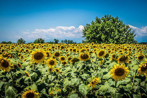 Sunflowers, Field, Tree, Sunflower, Summer, Nature