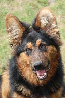 Dog, Sheep-dog, The Creation Of, Ears, Coat, Nice