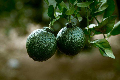 Fruit, Orange, Healthy, Food, Fresh, Orange Tree