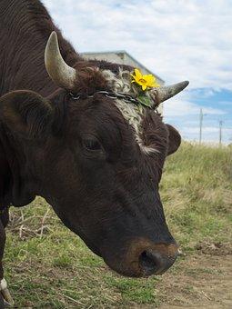 Bull, Cow, The Horn Of Africa, Flower, Pasture, Farm
