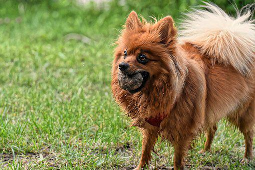 Dwarf Spitz, Dog, Cute, Kleinspitz, Pet, Fluffy