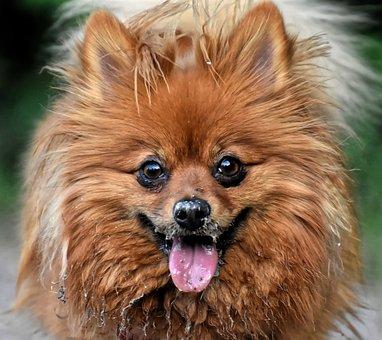 Dwarf Spitz, Dog, Cute, Dirty, Kleinspitz, Pet, Fluffy