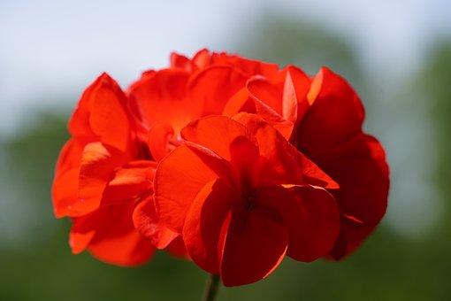 Geraniums Bloom, Geranium, Blossom, Bloom, Red, Plant