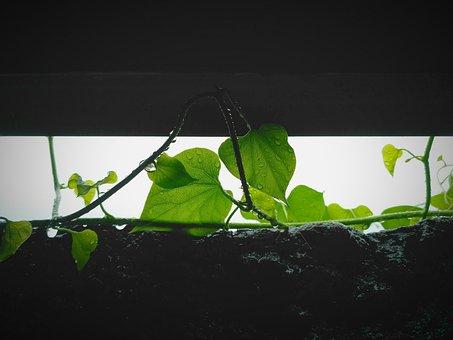 Wet, Rain, Leaf, Green, Monsoon, Vines