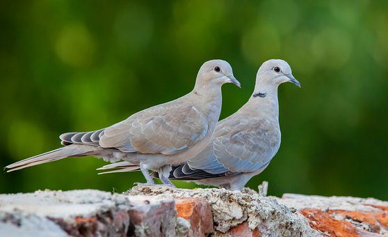 Ringed Doves, Doves, Wildlife, Feathers