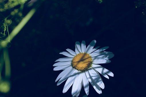 Daisy, Hidden, Shade, White, Stealth