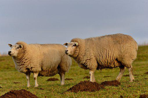 Sheep, Wool, Cattle, Mammals, Animals, Grassland