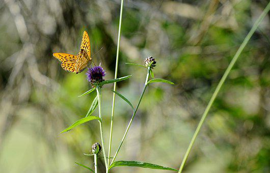 Butterfly, Silver-washed Fritillary Butterfly, Bug