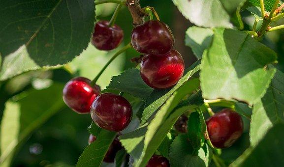 Cherries, Sour Cherries, Prunus, Cherry Tree, Ripe, Red