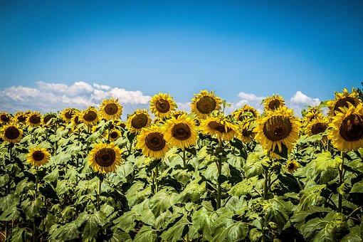 Sunflowers, Sky, Field, Sunflower, Summer, Flowers