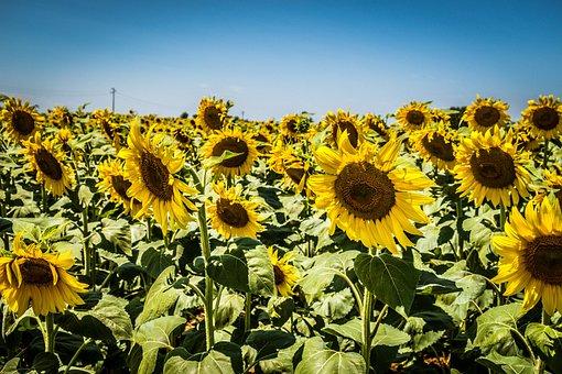 Sunflowers, Flowers, Sunflower, Summer, Nature, Flower