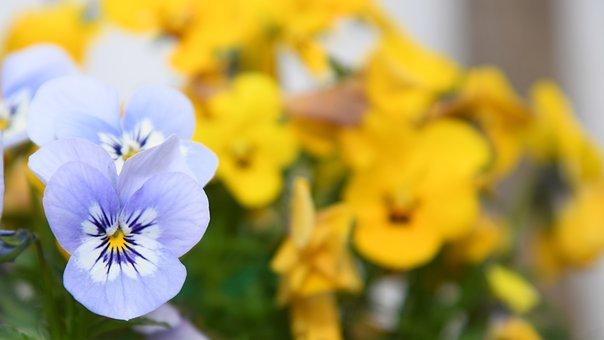 Flower, Yellow, Nature, Sunflower, Bloom, Blossom
