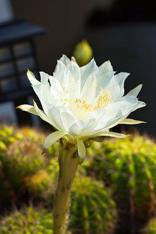 White, Leaves, Bloom, Cantus, The Tropics