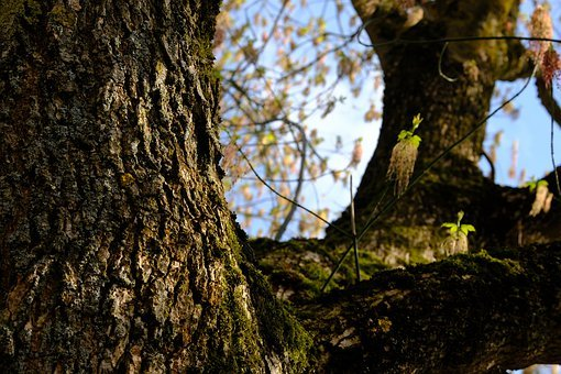 Tree, Log, Bark, Ash-maple, Ash-leaf Maple