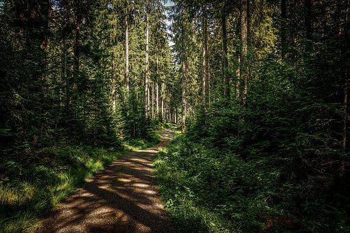 Forest, Forest Path, Trees, Trail, Nature, Fir Forest