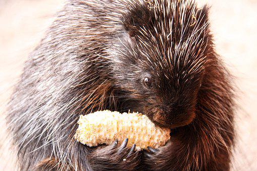 Urson, Porcupines, Corn On The Cob, Eat, Nibble